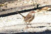 Wren - Yea wetlands   [Yea Wetlands (39) cropped.JPG uploaded 6 Aug 2014]